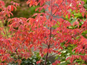 acer griseum in de herfst